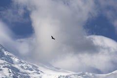 Le grand oiseau de la proie au-dessus de Mont Blanc Images stock