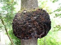 Le grand outgrowht sur un arbre en Quinta da Regaleira dans Sintra Photographie stock libre de droits