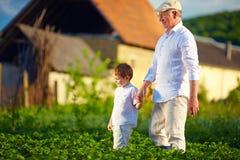 Le grand-père et le petit-fils ensemble sur leur ferme, parmi des pommes de terre rame Photo libre de droits