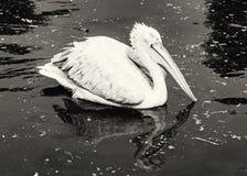 Le grand pélican blanc noir et blanc - onocrotalus de Pelecanus - est Image libre de droits