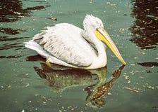 Le grand pélican blanc - onocrotalus de Pelecanus - est réfléchi sur le lac miroitant Photographie stock