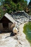 Le grand pélican blanc blanc ou oriental, le pélican attrayant ou le pélican blanc est un oiseau dans la famille de pélican Il mu Image stock