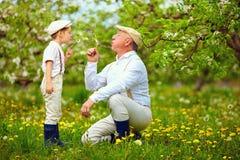 Le grand-papa heureux avec les pissenlits de soufflement de petit-fils font du jardinage au printemps Images libres de droits