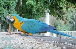 Le grand perroquet de plumes bleu, vert et jaune mange Photographie stock