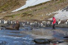 Le grand phoque d'éléphant adulte crie pour effrayer le photographe Photos libres de droits