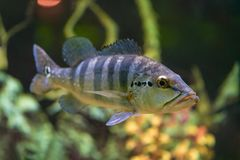 Le grand poisson Cichla Azul nage dans un aquarium transparent photo libre de droits
