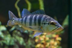 Le grand poisson Cichla Azul nage dans un aquarium transparent photographie stock