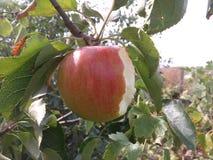 Le grand régime de couleur de plan rapproché de branche d'Apple mangent manger le tre mûr rouge accrochant vert d'été de nature n Photos libres de droits