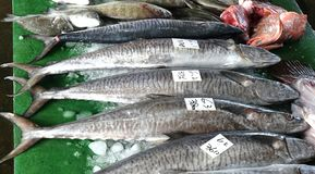 Le grand Roi Indo-Pacifique Mackerels Image stock