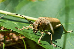 Le grand scarabée beige avec la longue moustache se repose dans la forêt images stock