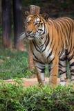 Le grand tigre de Bengale se tenant dans le domaine d'herbe verte regarde ainsi le stro photographie stock