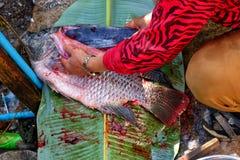 Le grand Tilapia de taille sur la feuille de banane, sang est éviscéré avec des couteaux, f image libre de droits