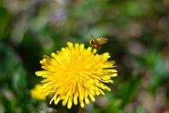 Le grand travail des abeilles images libres de droits