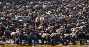 Le grand troupeau de gnou est au sujet de Mara River Transfert grand kenya tanzania Masai Mara National Park photos libres de droits