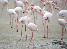 Le grand troupeau des flamants roses se reposent sur le sable Photos stock