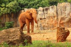 Le grand vieil éléphant au zoo Photos libres de droits