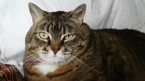 Le grand visage rond d'un chat domestique Regardez autour Très sérieux et beau clips vidéos