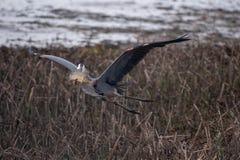 Le grand vol de héron bleu au-dessus de l'herbe de marais avec une carpe d'or dans lui est bec images stock