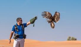 Le grande maschii hanno macchiato l'aquila durante la manifestazione di volo di caccia col falcone nel Dubai, UAE Immagine Stock
