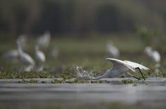 Le grandi egrette in un lago Immagine Stock Libera da Diritti
