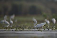 Le grandi egrette in un lago Fotografia Stock