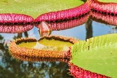 Le grandi foglie di Victoria waterlily galleggiano sull'acqua Fotografie Stock Libere da Diritti