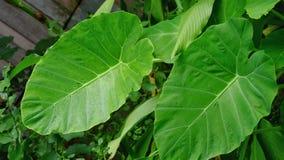 Le grandi foglie verdi gemellate Fotografie Stock Libere da Diritti