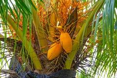 Le grandi noci di cocco gialle che appendono su Palme, frutti tropicali maturano sull'albero, i tropici, Immagine Stock
