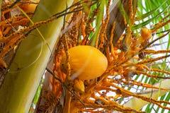 Le grandi noci di cocco gialle che appendono su Palme, frutti tropicali maturano sull'albero, i tropici, Immagini Stock