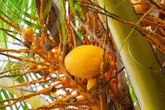Le grandi noci di cocco gialle che appendono su Palme, frutti tropicali maturano sull'albero, i tropici, Fotografia Stock