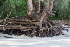 Le grandi radici dell'albero Fotografia Stock Libera da Diritti