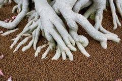Le grandi radici in fertilizzante dell'albero dei bonsai Fotografia Stock Libera da Diritti