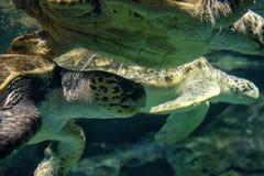 Le grandi tartarughe marine nuotano sotto l'acqua fotografia stock