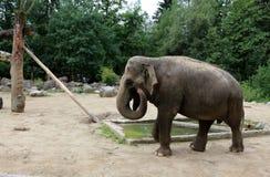 Le grandi vite dell'elefante nello zoo Immagini Stock Libere da Diritti