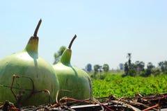 Le grandi zucche nella natura Immagine Stock
