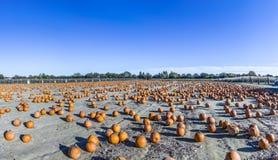Le grandi zucche si sviluppano su un campo Immagine Stock