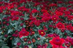 Le grandifflora de Dendranthemum fleurit avec de belles formes, coloré, faciles à se développer, et il y a beaucoup de variétés à Photo libre de droits
