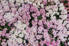 Le grandifflora de Dendranthemum qu'un autre nom qui est connu est le chrysanthème de chrysanthème est employé dans la significat Image libre de droits
