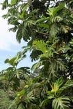Le Grenada typique ! Images libres de droits
