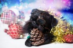 Le griffon belge dans le vêtement de vacances Photo stock