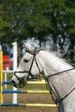 Le gris a coloré le beau petit galop sautant de cheval avec son cavalier Image stock