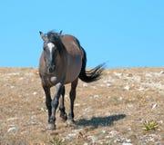Le gris de Grulla de cheval sauvage a coloré l'étalon de bande sur Sykes Ridge dans les montagnes de Pryor dans l'†«Wyoming du Photos libres de droits