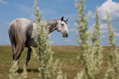 Le gris tachettent le cheval vous regardant Photo libre de droits