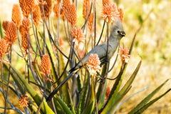 Le gris vont-loin oiseau (le concolor de Corythaixoides) Photos libres de droits