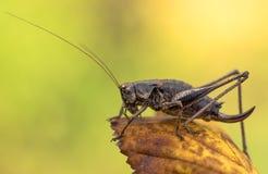 Le griseoaptera foncé de Pholidoptera de Bush-cricket dans la République Tchèque photos stock