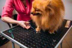 Le groomer d'animal familier coupe avec des griffes de ciseaux d'un chien Photos libres de droits