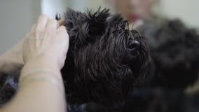 Le groomer féminin d'animal familier nettoie des oreilles du chien noir dans le salon de groomers Les soins des animaux professio banque de vidéos