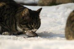 Le gros chat rayé mord ardemment dans un poisson frais photos stock