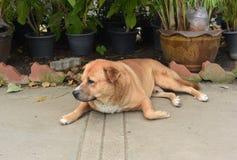 Le gros chien vagué thaïlandais dort au sol Photos stock