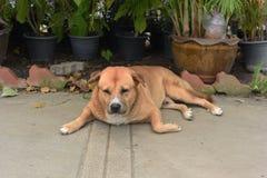 Le gros chien vagué thaïlandais dort au sol Image libre de droits